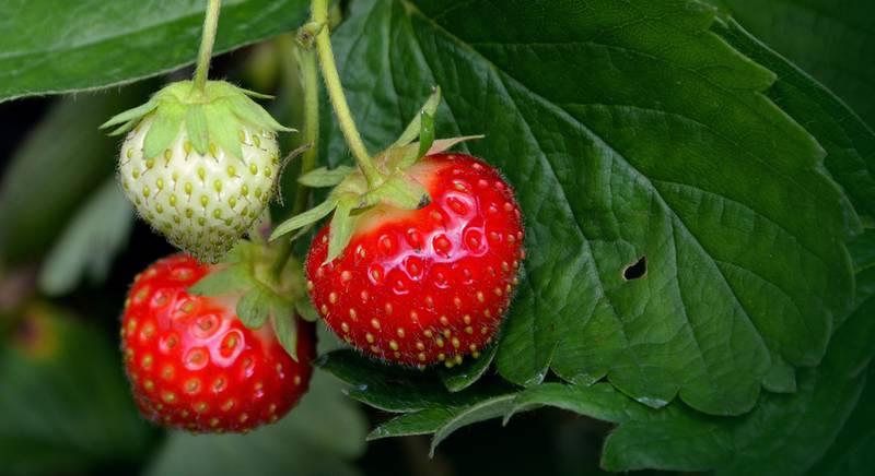strawberry-plant-751178.jpg