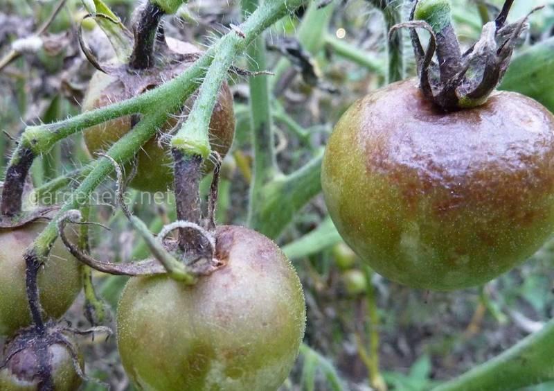 Как распознать и подавить томатные вирусы?
