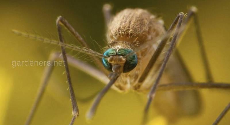 Комар, що може стати вашим надокучливим сусідом - Culex pipiens f. molestus