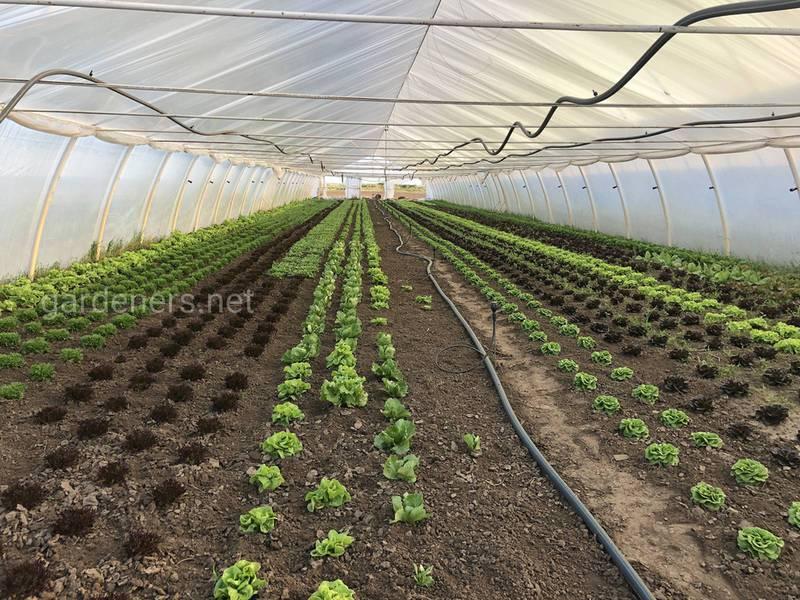 Яке повинно бути освітлення та вологість в теплиці для вирощування салату?