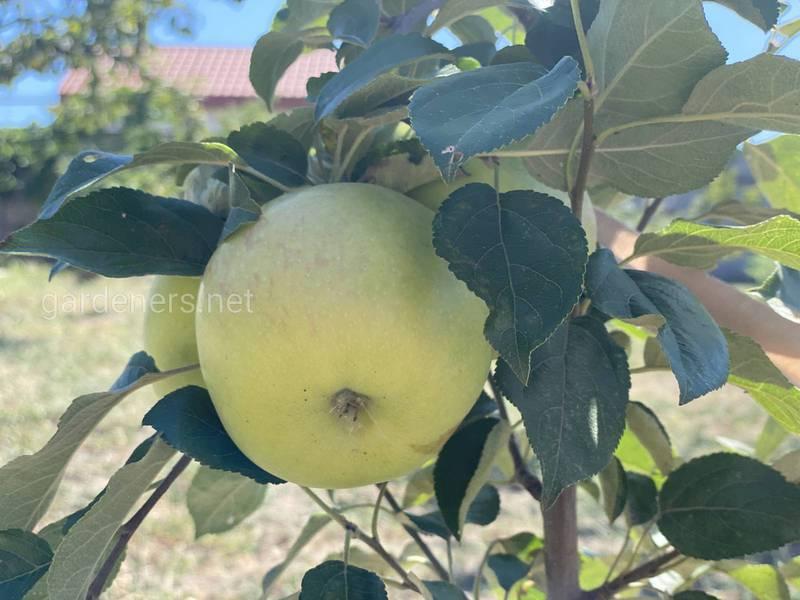 """Яблоня домашняя """"Голден Делишес"""""""