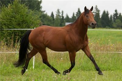 Лошадь Квотерхос