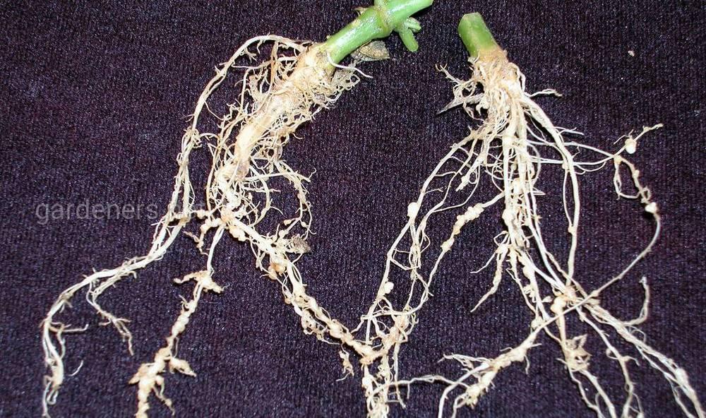 Как проявляются нематоды у растений