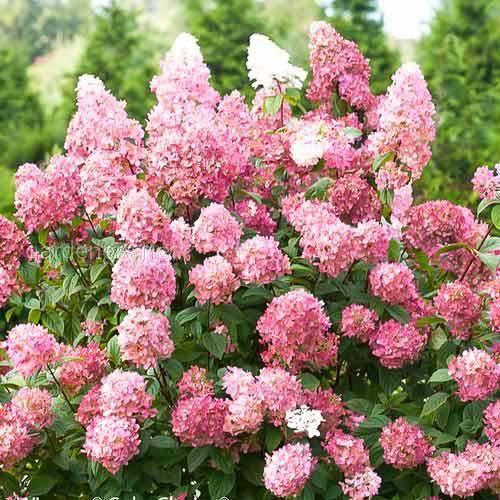 Які квіткові кущі можна посадити в садку?