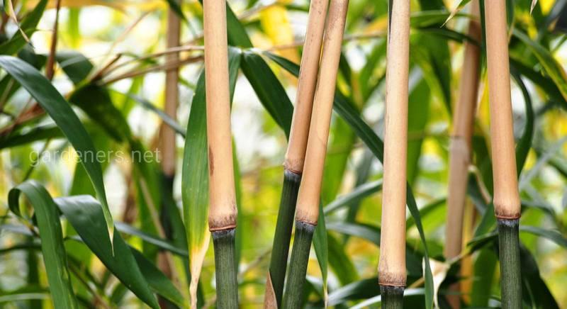 Бамбуковые в озеленении и декорировании наших парков и садов