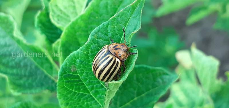 Як боротися з колорадським жуком в органічному вирощуванні картоплі?