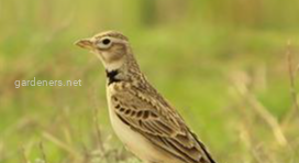 Птица Джурбай