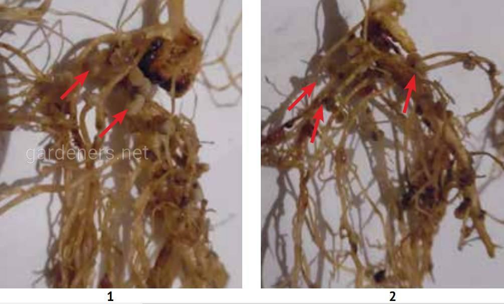 Вплив передпосівної обробки насіння гороху інокулянтом Біомаг на формування кореневих бульбочок