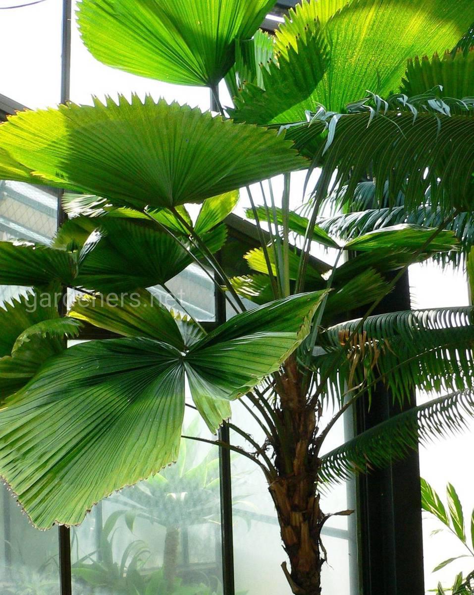 виды пальмы ликуала