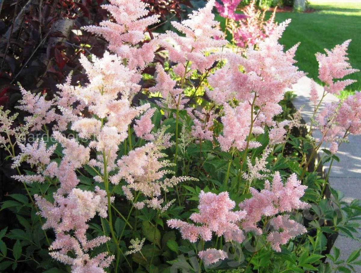 астильба Peach Blossom