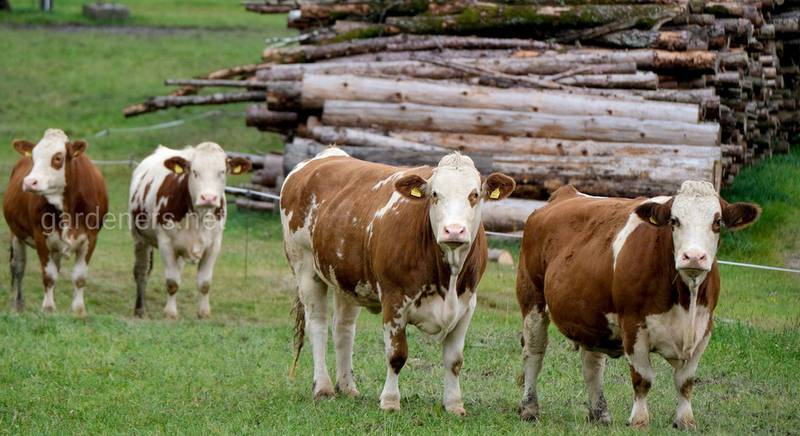 Молочні корови з високою удійністю — породи та характеристики тварин