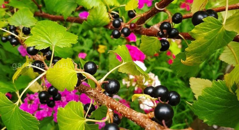 Кусты чёрной смородины