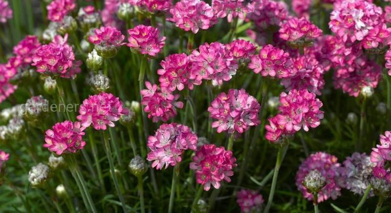 Армерія: особливості рослини