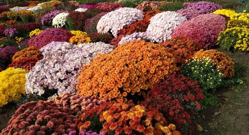 Люблю все цветы, но больше всего хризантемы
