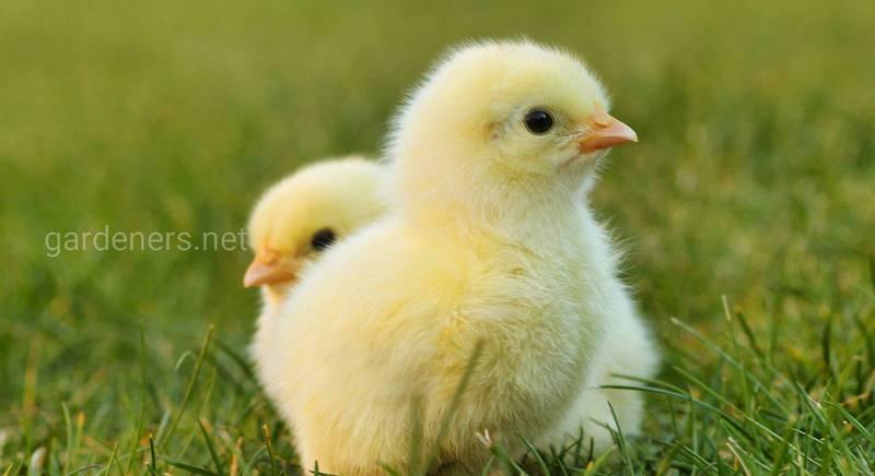 Как вырастить здоровых и крепких цыплят
