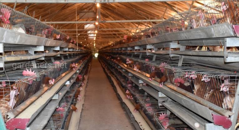 Хлорелла – резерв птицеводства: вкусовые качества и экологическая чистота продукции
