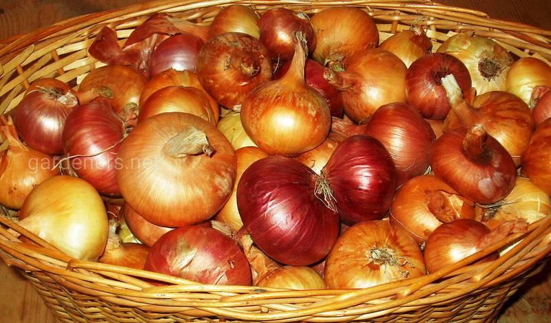 В яких умовах краще зберігати коренеплоди, щоб подовжити їх свіжість?
