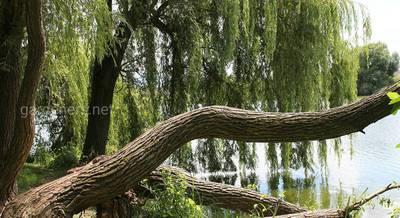 запрещенные деревья для дачи.jpg