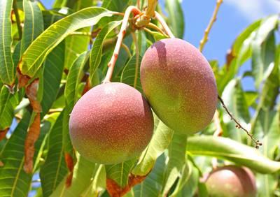 Mango - Mangifera .jpg