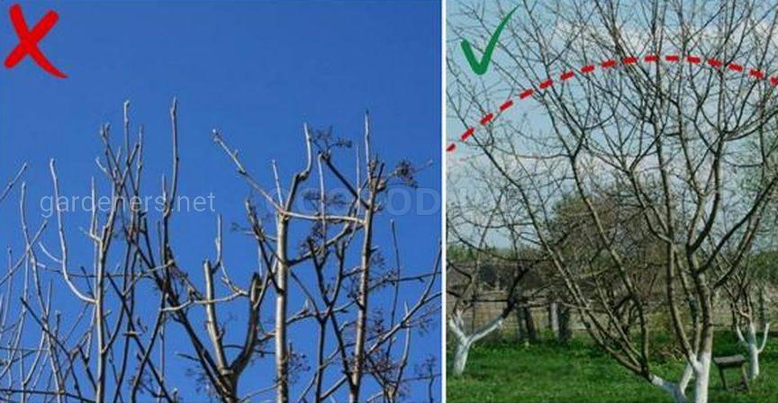 Обрезка всех верхних ветвей на одинаковой высоте