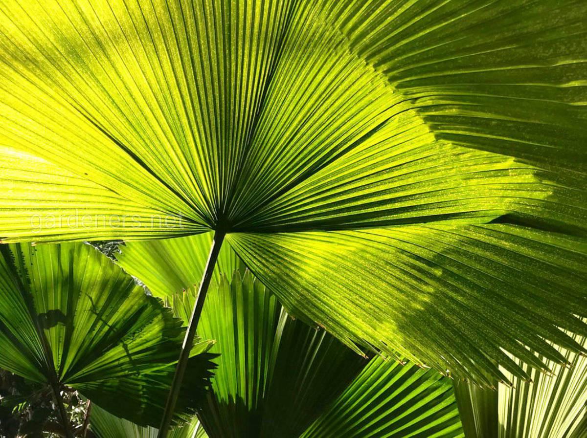 листья пальмы ликуала