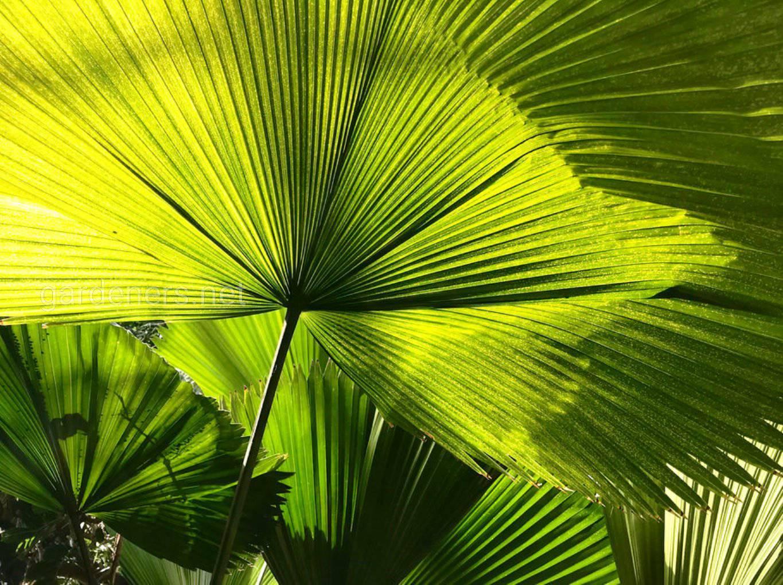 листья пальмы ликуала.jpg