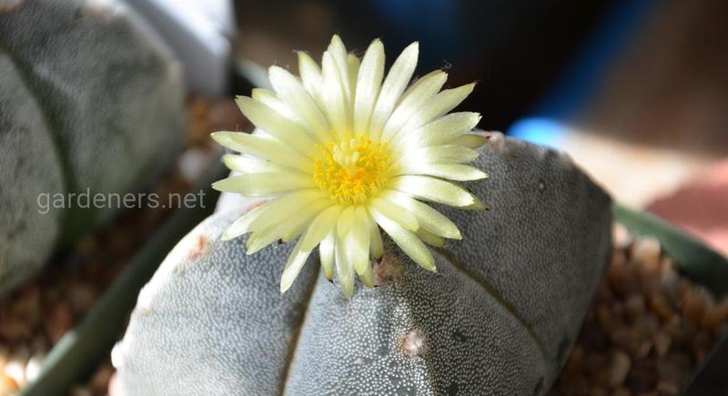 Астрофитум: описание видов и наиболее декоративных сортов звездчатого кактуса