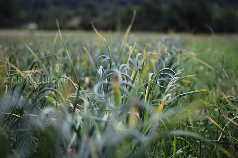 Чесночное поле