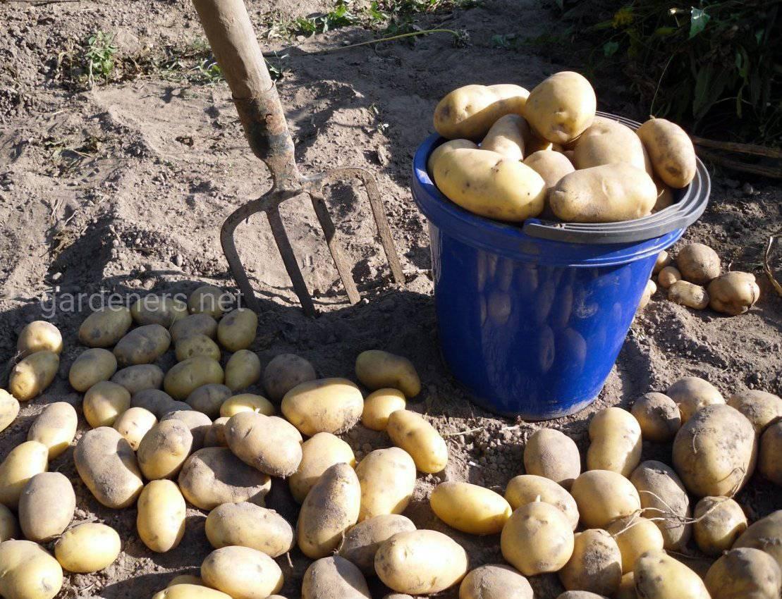 Когда выкапывать картофель