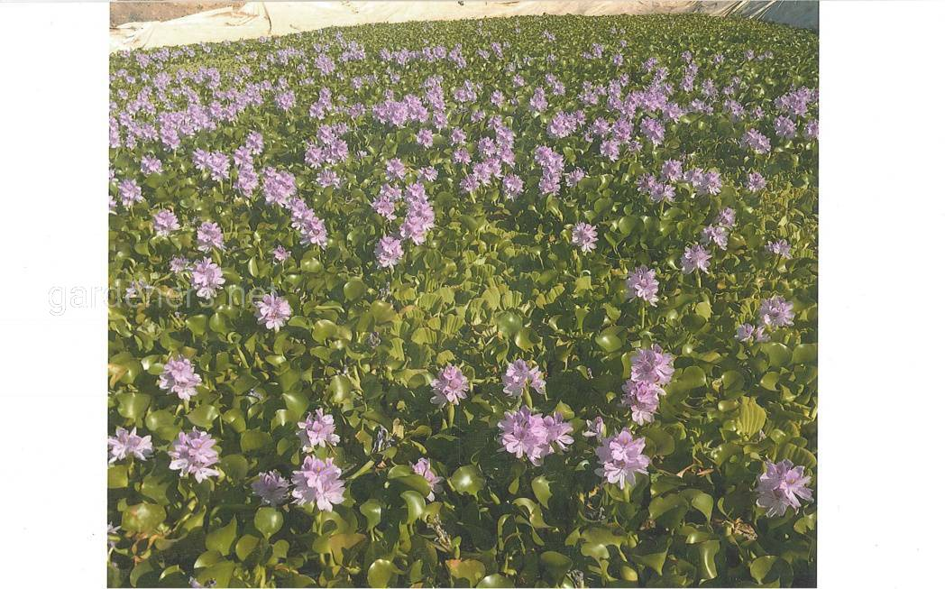 Цветет Эйхорния