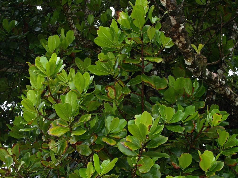 Mammea americana (2).jpg
