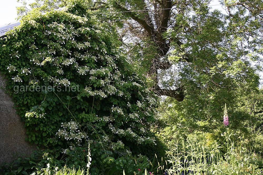 Hydrangea anomala subsp.Petiolaris