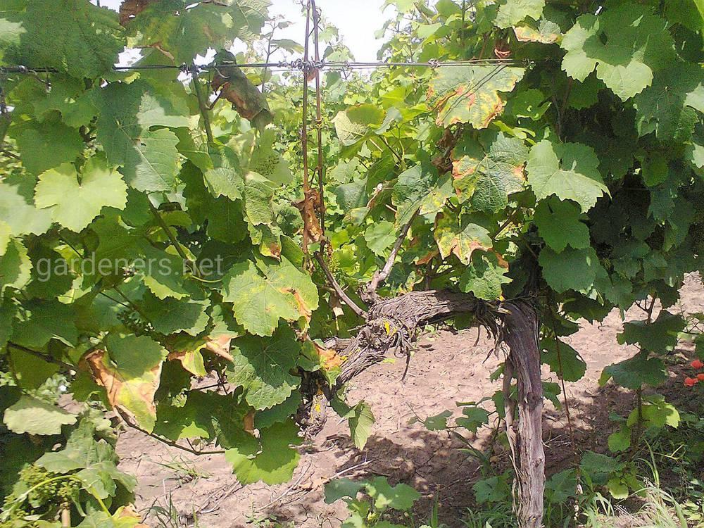 Рисунок 3. Некрозы листьев после повреждения возбудителем милдью при отсутствии мер защиты или их некачественного осуществления