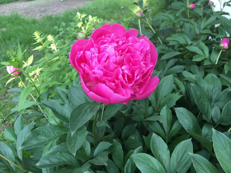 Пион - цветок, который приносит счастье в любви
