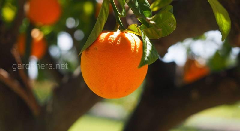 Якими цілющими властивостями володіє апельсин?