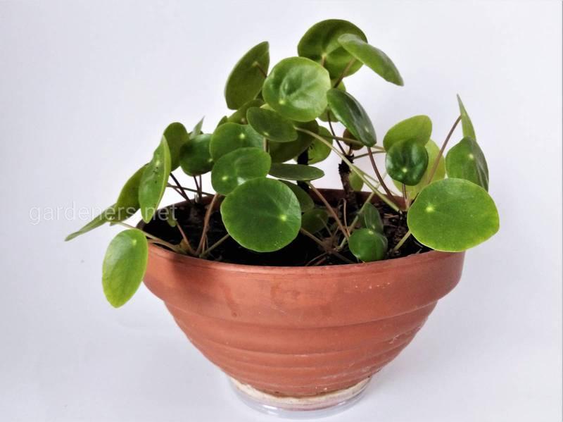 Що таке ампельні рослини та які з них найбільш популярні?