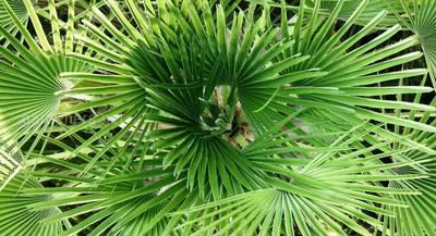 Пальма хамеропс: правила ухода и размещения в квартире, описание сортов и видов