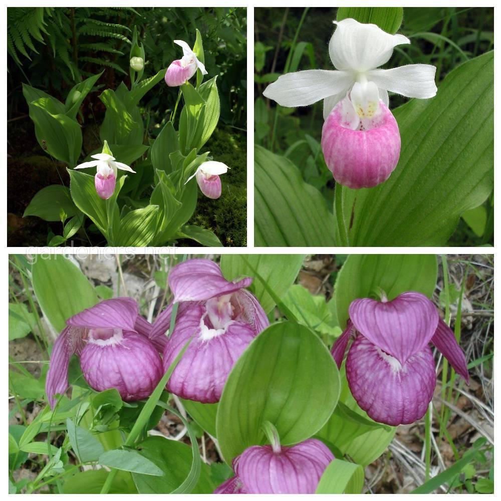 разнавидности орхидеи башмачек.jpg