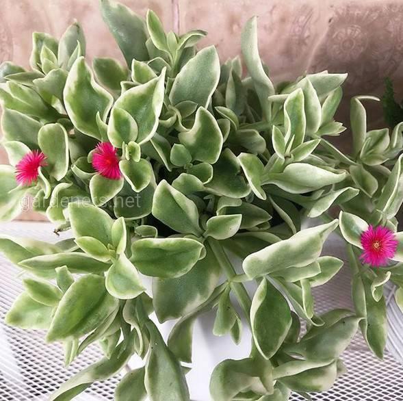 Mesembryanthemum cordifolium