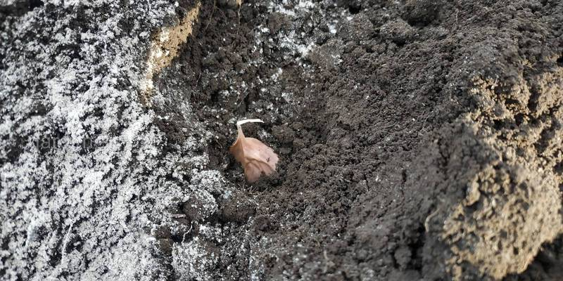 Особенности посадки озимого чеснока