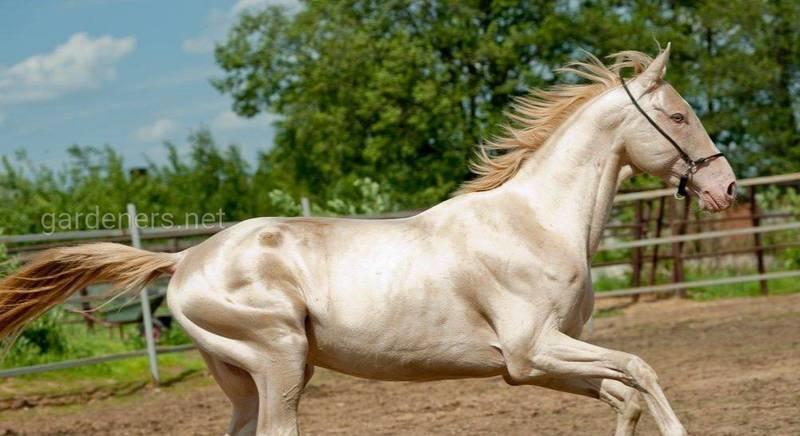 Описание самой красивой лошади в мире