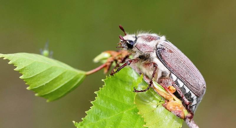 майский жук.jpg