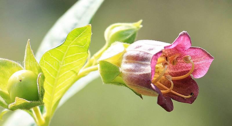 Беладона – отруйні ліки