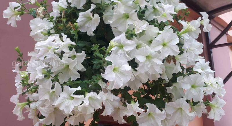 Белая красавица - петуния пазушная