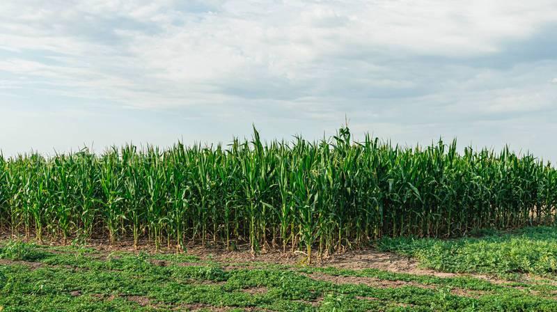 Для чого необхідно робити міжрядне вирощування кукурудзи?