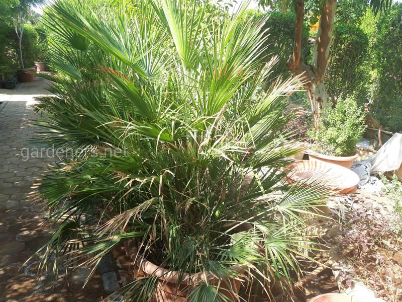 Які умови необхідно створити для успішного вирощування кокосової пальми?
