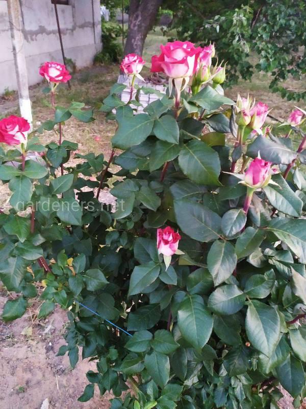 Почему важно защищать декоративные розу от болезней и вредителей?