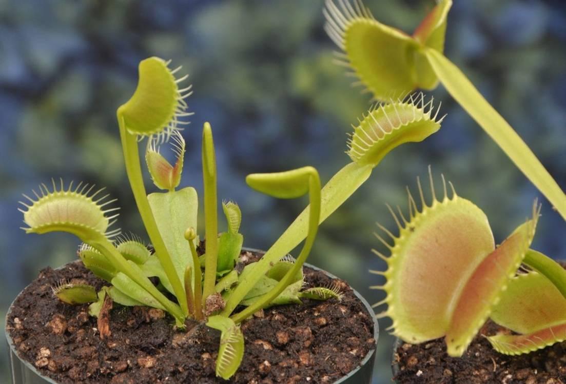 растение-хищник