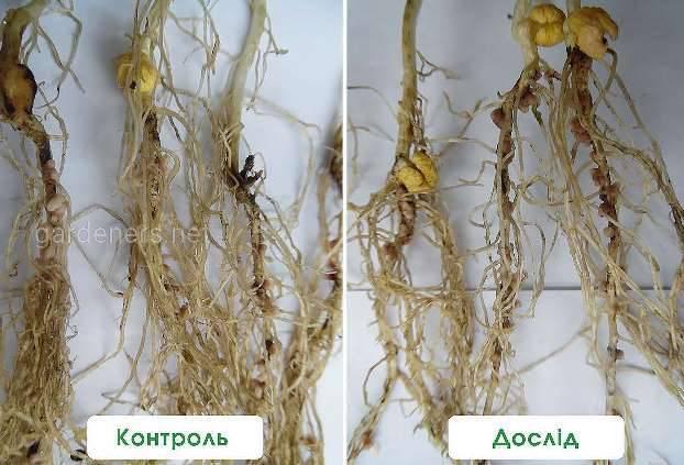 Формування бульбочок на рослинах гороху