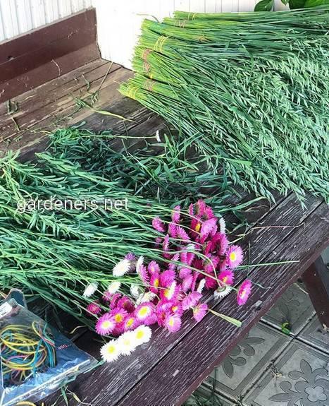 Акроклінум: як виростити гарну квітку в саду